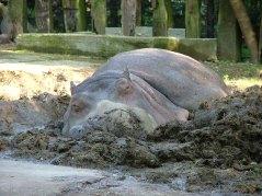 hippopotamus-safari-park-verona-italy