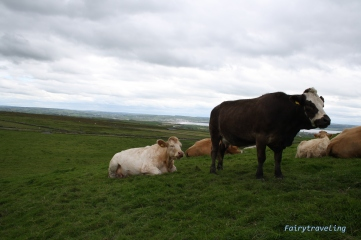 cows at cliffs of moher