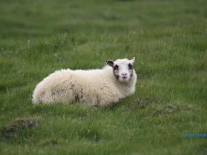 Sheeps on Westman Islands